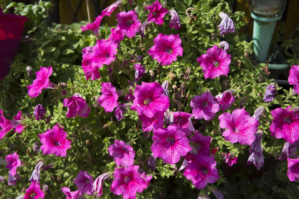 Concorso balconi e giardini fioriti for Giardini fioriti foto